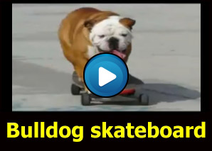Bulldog che va in skateboard