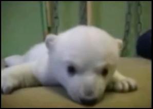 Knut l'orsetto bianco