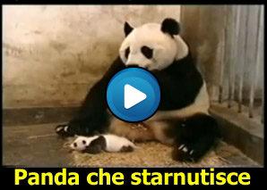 Starnuto di un baby panda