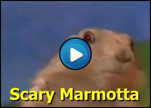 Marmotta con sguardo killer