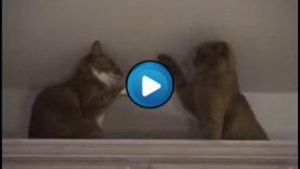 Incontro di Box tra gatti