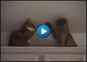 Incontro Di Box Tra Gatti Craniolesoit