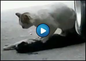 Un gatto cerca di svegliare l'amico morto